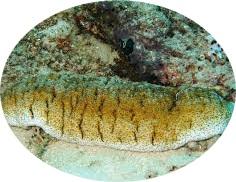 teripang-emas-laut-yang-terdapat-dalam-obat-qnc-jelly-gamat-berkhasiat-mengobati-penyakit-kronis-dan-non-kronis-7